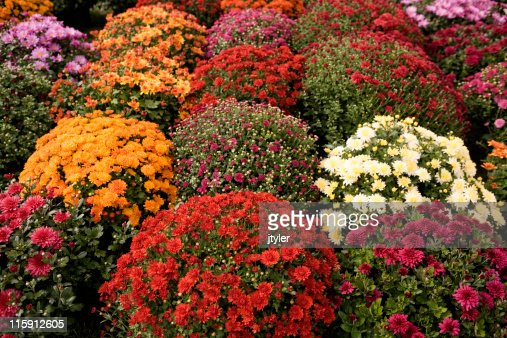 Mums of Many Colors