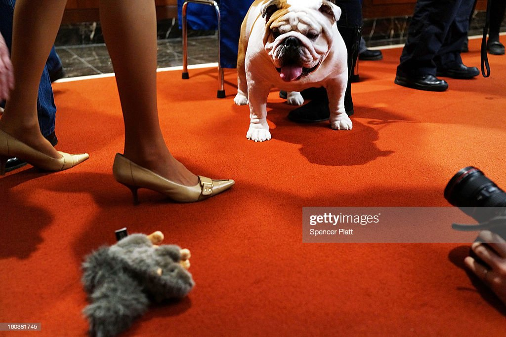 Munch, a Bulldog, looks at a toy during a news conference by the American Kennel Club to discuss the release of the club's annual list of the most popular dog breeds in the U.S., on January 30, 2013 in New York City. The club says that for the 22nd straight year the Labrador Retriever is the nation's most popular dog followed by the the German Shepherd.