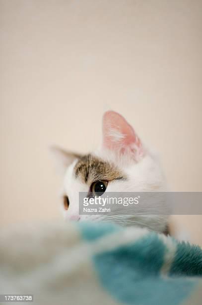 Munchkin cat hiding behind blanket