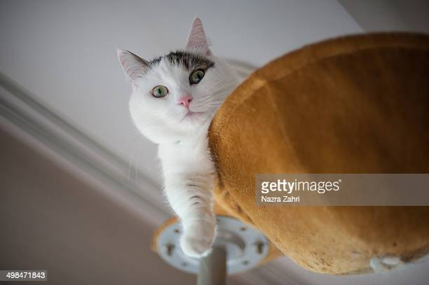 Munchkin cat sitting on a cat tower