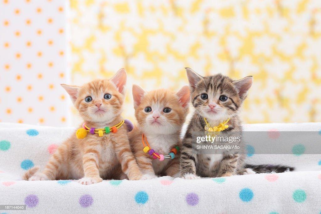 Munchkin pets : Stock Photo
