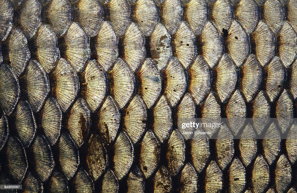 The intricate patterns of an introduced freshwater Carp's scales.