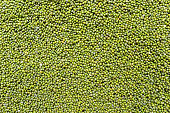 Mung beans backgrounds.