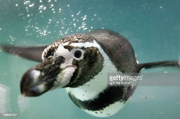 A Humboldt Penguin swims in his pool 16 March 2007 in Munich's zoo Hellabrunn where six peguin babies were born last JanuaryHumboldt Penguin usually...