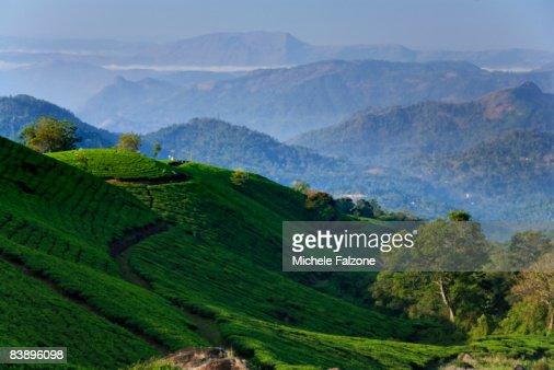 Munnar rolling hills and Tea Plantations, dawn : Stock Photo