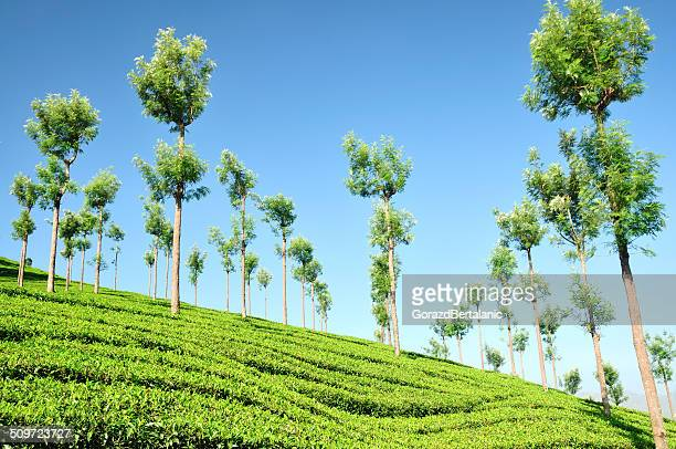 Munnar Tea Plantation, Kerala, India