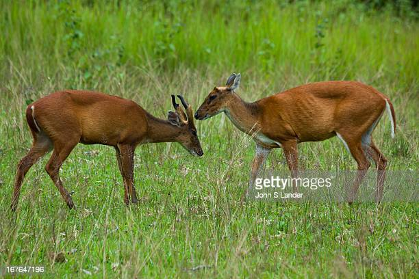 Muntjacs also known as Barking Deer and Mastreani Deer are small deer of the genus Muntiacus Muntjacs are the oldest known deer appearing 15 to 35...
