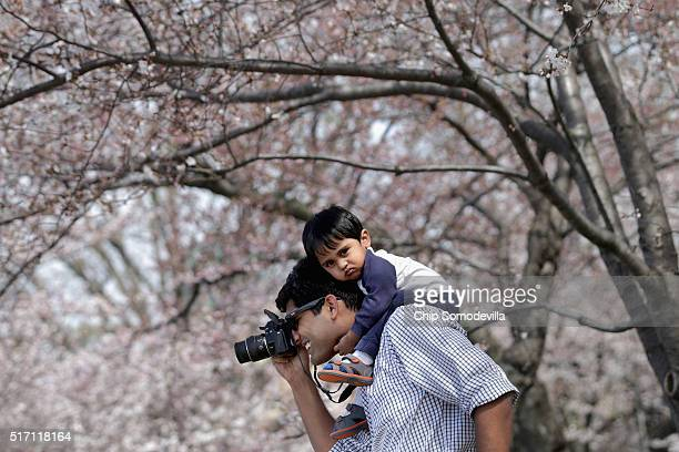Murali Mulakaluri of Reston VA holds his son Keshava Mulakaluri 15 months on his shoulders while photographing the cherry trees that surround the...