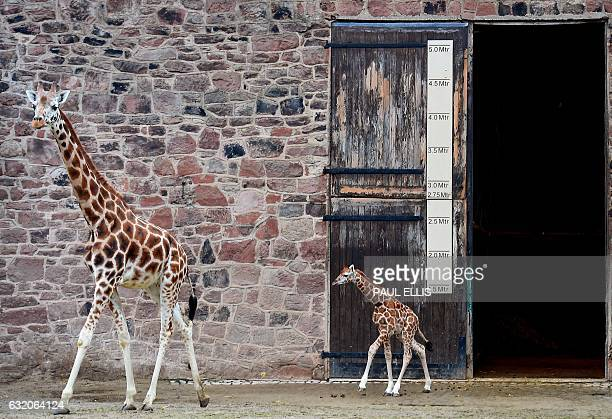 Murchison a baby Rothschild giraffe follows his mother Tula from the Giraffe House at Chester Zoo in Chester northwest England on January 19 2017 as...