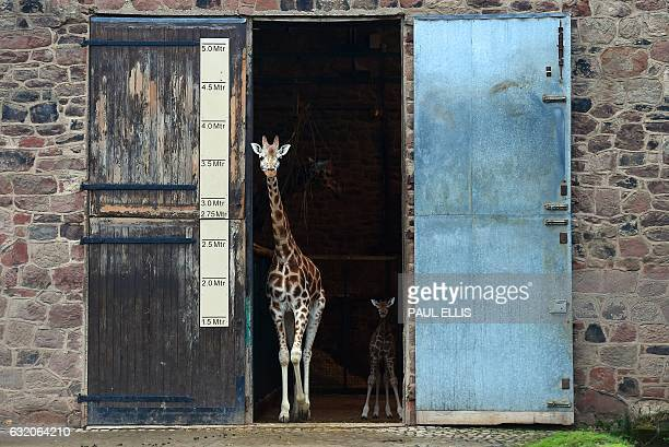 TOPSHOT Murchison a baby Rothschild giraffe follows his mother Tula from the Giraffe House at Chester Zoo in Chester northwest England on January 19...