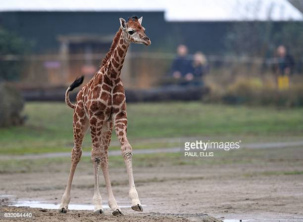 Murchison a baby Rothschild giraffe steps out of the Giraffe House at Chester Zoo in Chester northwest England on January 19 2017 for the first time...