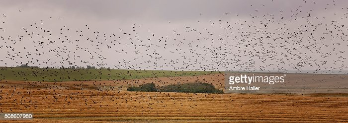 Murmuration of Starlings over a field, trees in the background : Stock Photo