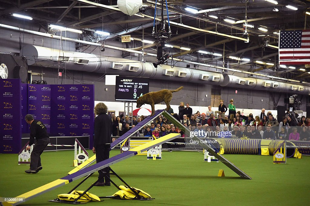 Murphy, a Chesapeake Bay Retriever competes in the Westminster Kennel Club and AKC Meet and Compete at Pier 92 on February 13, 2016 in New York City.