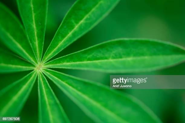 Muscari Armeniacum Leaf