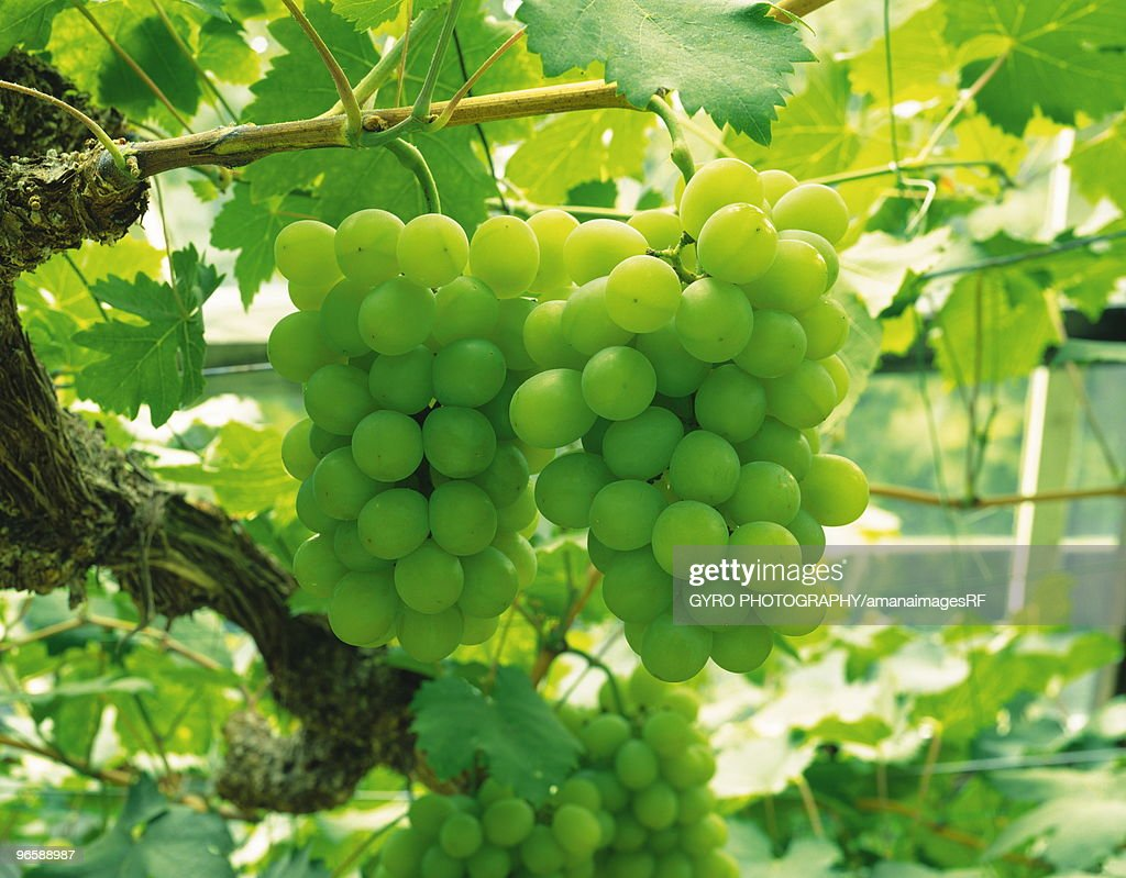 Muscat grapes hanging from vine : Stock Photo