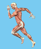Featuring male figure in running motion showcasing major muscular groups such as deltoids, triceps, biceps, quadriceps, hamstrings and obliques.