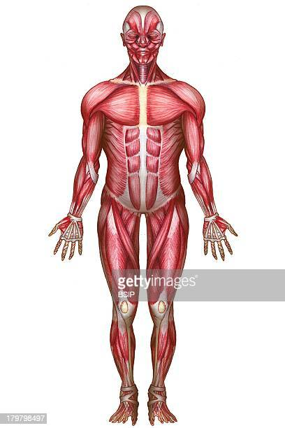 muscular system drawing stock photos and pictures | getty images, Muscles