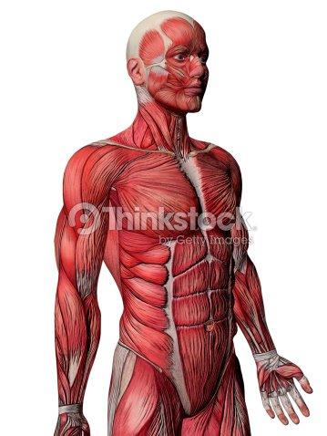 Muscles Anatomy Side View Stock Photo Thinkstock