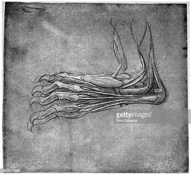 Muscles and sinews in a foot possibly of a hare late 15th or early 16th century Found in the collection of the Royal Library Windsor Castle Windsor...