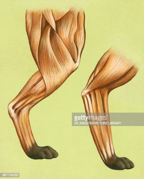 Muscles and tendons in the limbs of a quadruped drawing
