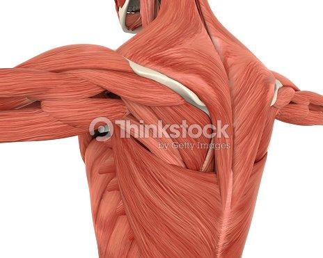 Músculos De La Anatomía De La Espalda Foto de stock   Thinkstock