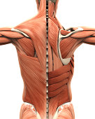 Muscular Anatomy of the Back Illustration. 3D render