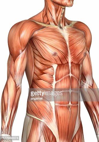 torso Muscular de homem