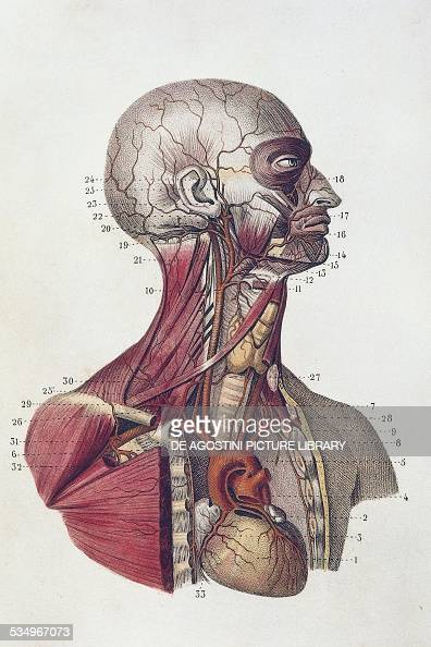 Musculoskeletal and circulatory systems of the head neck and upper chest anatomical plate