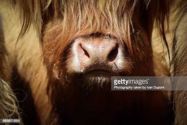 Museau de vache écossaise