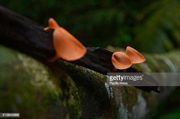 Mushroom Champagne in the nature forest Bukit Tigapuluh National Park Riau Province in Sumatra
