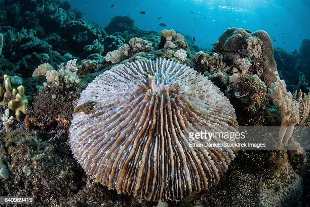 A mushroom coral grows on a reef in Indonesia.