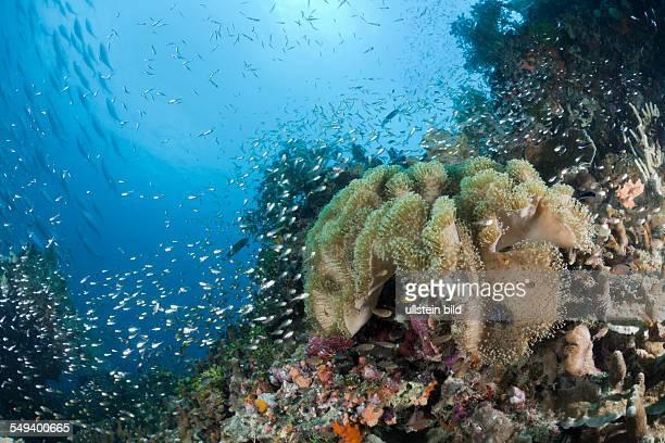 Mushroom Soft Coral Sarcophyton sp Raja Ampat West Papua Indonesia