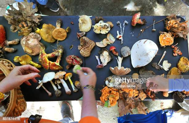 Mushrooms gathered during a foraging hike led by Martha Browne through the woods of Weir Hill in North Andover MA are pictured on Aug 12 2017 After...