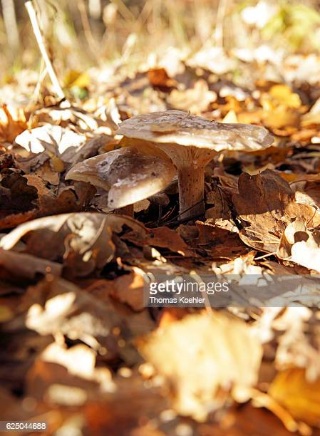 Mushrooms grow between autumn foliage in the nature reserve Biesenthaler Becken on November 13 2016 in Biesenthal Germany