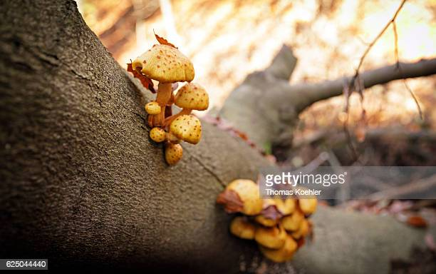 Mushrooms grow on a tree trunk in the nature reserve Biesenthaler Becken on November 13 2016 in Biesenthal Germany
