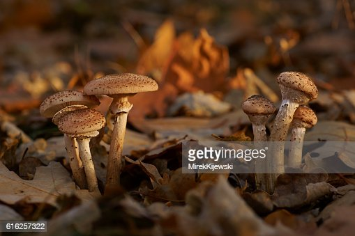Mushrooms, Honey fungus (Armillaria) : Foto de stock