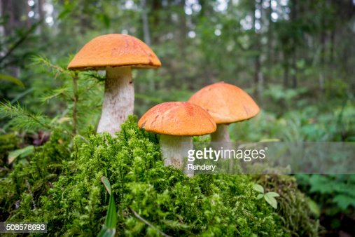mushrooms in the forest : Stock Photo