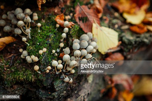 Mushrooms on an old tree stump close-up : Stock Photo
