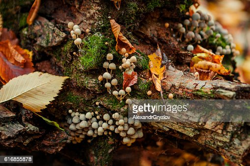 Mushrooms on an old tree stump close-up : Stock Photo