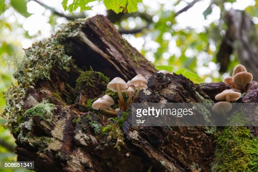 Mushrooms on Oak Trunk - Setas en Tronco de Roble : Stock Photo