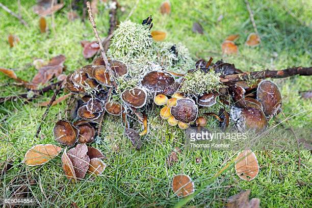 Mushrooms with hoarfrost in the nature reserve Biesenthaler Becken on November 13 2016 in Biesenthal Germany