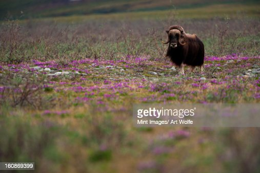 Muskox, Arctic National Wildlife Refuge, Alaska : Stock Photo