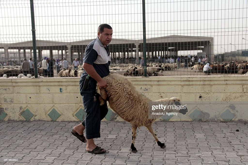 Muslims prepare sacrificial animals at animal market in Sanliufa, southeastern Turkey ahead of Eid al-Adha on September 9, 2015. Muslims around the world celebrate the Eid al-Adha, also called the Feast of the Sacrifice, to commemorate Prophet Abraham's readiness to sacrifice his son as an act of obedience to God.
