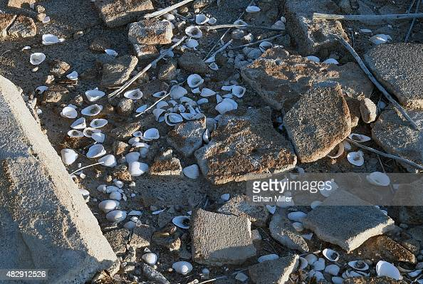 Mussel shells are shown among the ruins of a structure in the ghost town on August 3 2015 of St Thomas in the Lake Mead National Recreation Area...