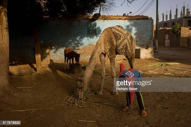 Mustafa a young Egyptian brings soft sugarcane branches for horses and camels at the Pharaohs Stable a business dependent on tourism based in the...