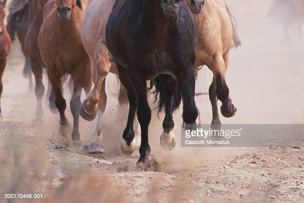 Mustangs (Equus caballus) running, kicking up dust