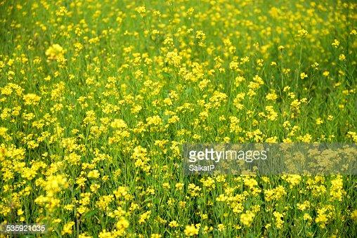 Mustard Field : Stock Photo