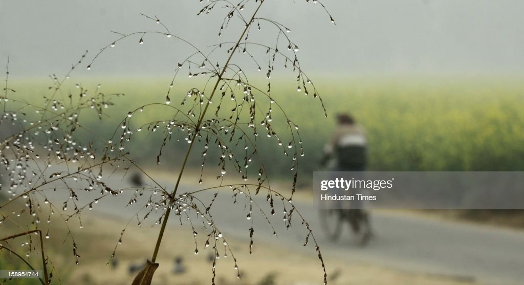Mustard fields as dense fog engulf the area around Dwarka as Mercury dips further below to 3 degree on Friday Morning on January 4, 2013 in New Delhi, India. Dense fog has affected around 45 trains and 22 flights.