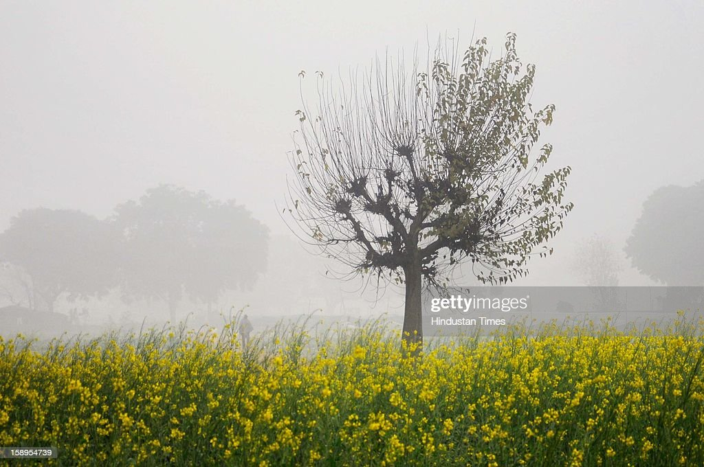 Mustard fields as dense fog engulf the area as Mercury dips further below to 3 degree on Friday Morning on January 4, 2013 in New Delhi, India. Dense fog has affected around 45 trains and 22 flights.