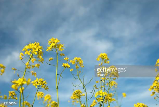 Flores de Mostarda